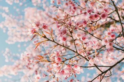 cherry-blossoms-900x600